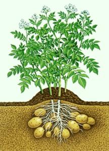 Warum man Kartoffeln lieber meidet